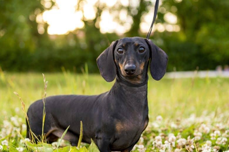 A portrait of an attentive Dachshund on a grassland