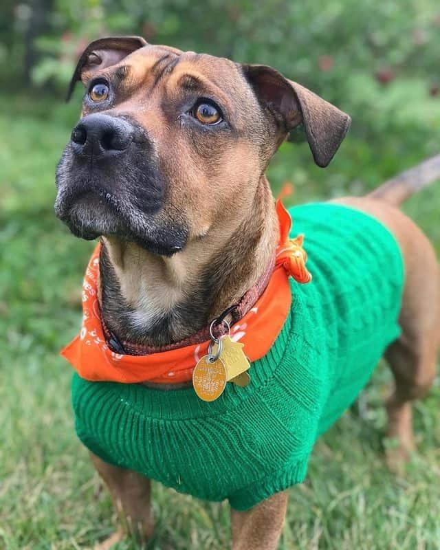 A Dachshund Pitbull mix wearing a green sweater and orange collar