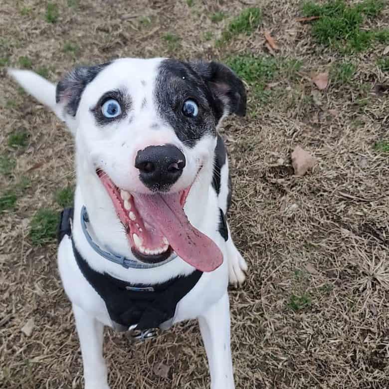 Funny Dalmatian Australian Shepherd mix dog portrait
