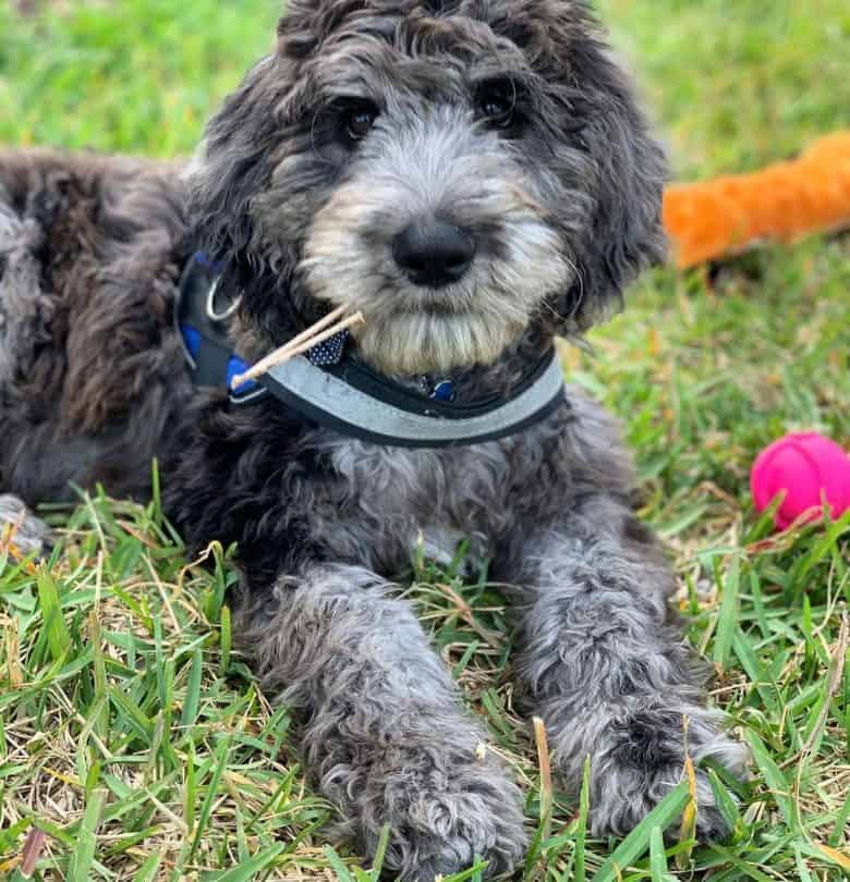 A Danedoodle looking looking directly at a camera and laying on the grass