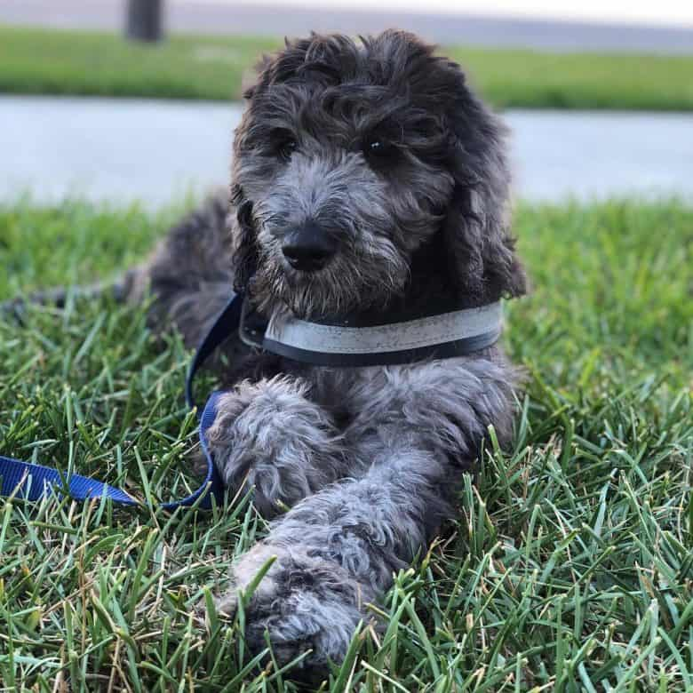 A Danedoodle puppy patiently laying on grass