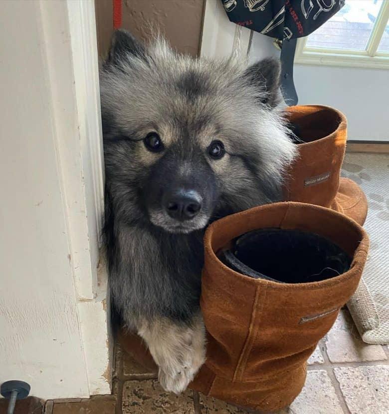 A Deutscher Wolfspitz hiding in between boots
