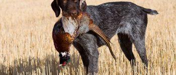 Drahthaar dog hunting a pheasant