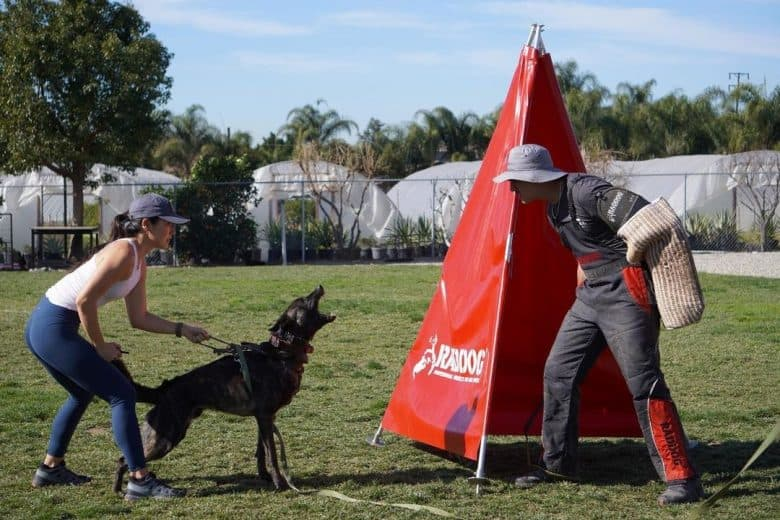 Dutch Shepherd dog training