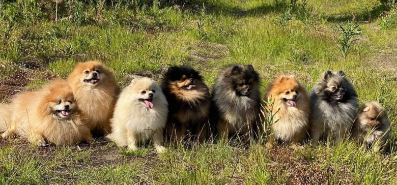 Eight different color Pomeranian dogs sitting in line