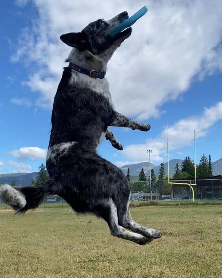 an energetic Border Heeler playing frisbee