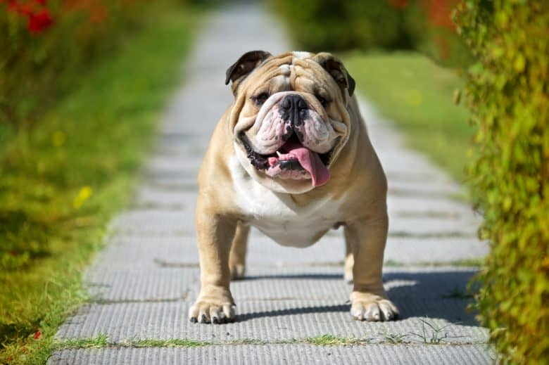 An English Bulldog standing in the middle of a garden smiling tenderly