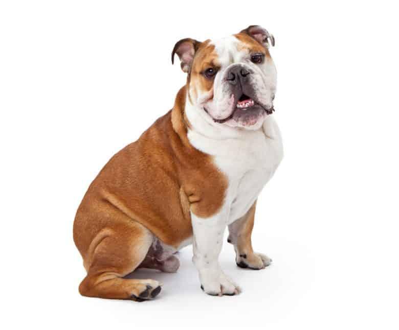 An English Bulldog sitting for a portrait