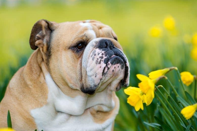 An English Bulldog sniffing yellow daffodils