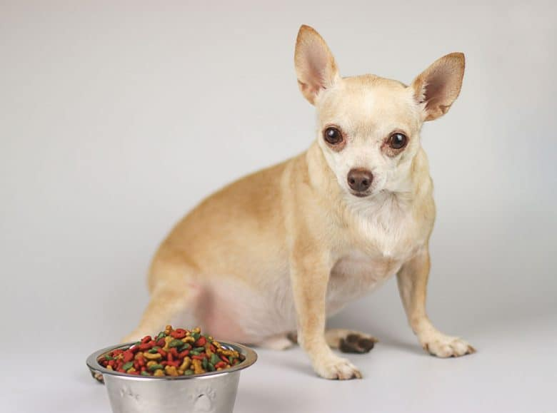 Fat Chihuahua with his food