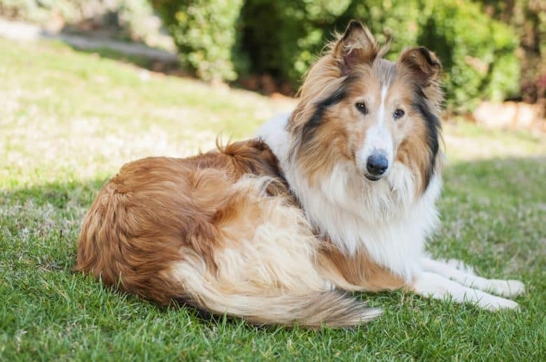 A female Collie dog lying on the grass