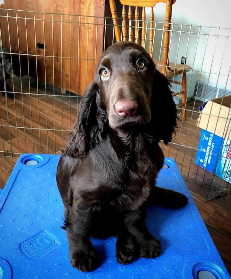 A Field Spaniel sitting on a crate giving puppy eyes