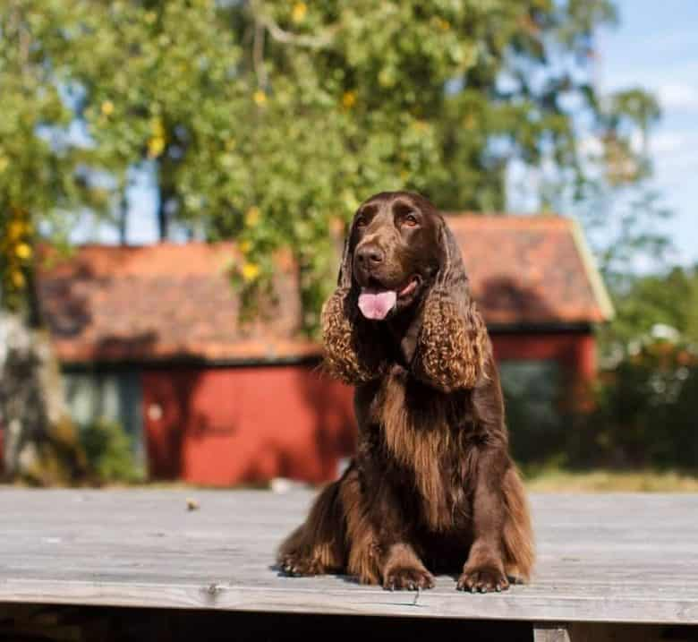 A Field Spaniel sitting happily under the sun