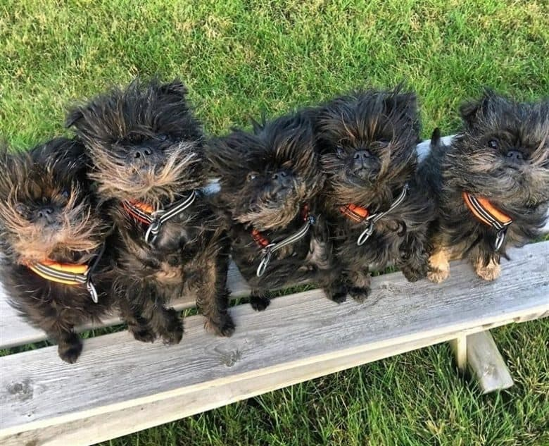 five precious Affenpinscher puppies looking up while sitting on a bench