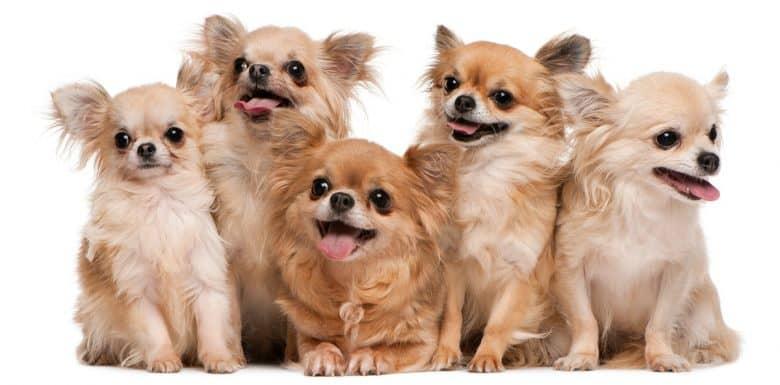 Five purebred Chihuahua dogs