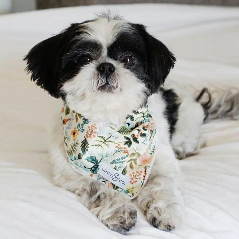 Flare Shih Tzu dog lying on the bed