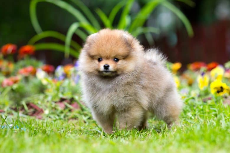 A fluffy Pomeranian standing with flowers as background