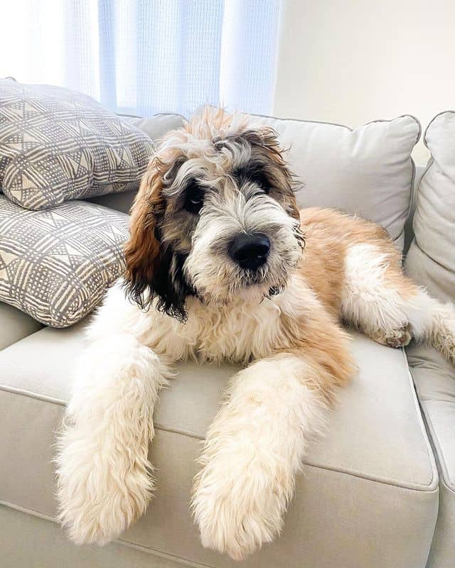 Fluffy Saint Berdoodle relaxing on the sofa