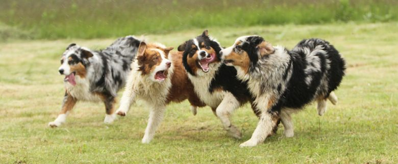 Four Australian Shepherds running on the field