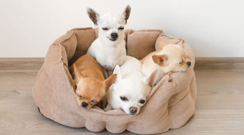 Four Chihuahua dogs inside their bed