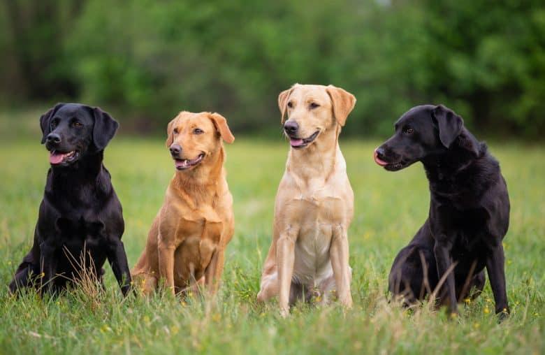 Four colors of Labrador Retriever dogs sitting on the grass