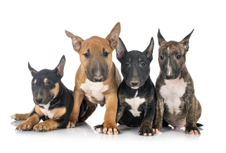 Four Miniature Bull Terrier puppies sitting with white background
