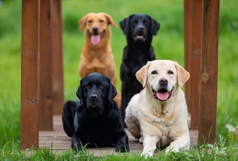 Four Labrador Retriever dogs with different colors