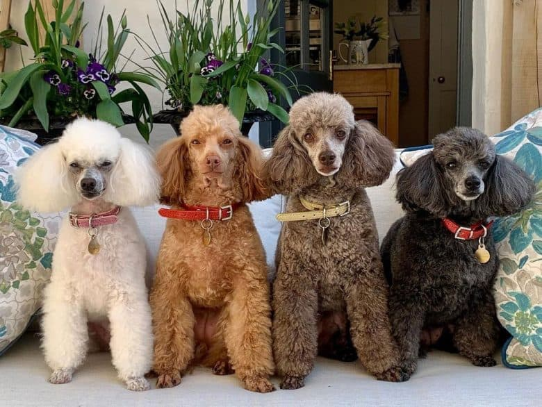 Four different colors of Poodle dogs
