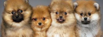 Why the fluffy Pomeranian is the best companion