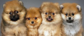 four purebred Pomeranian puppies portrait
