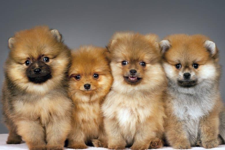 Four purebred Pomeranian puppies portrait