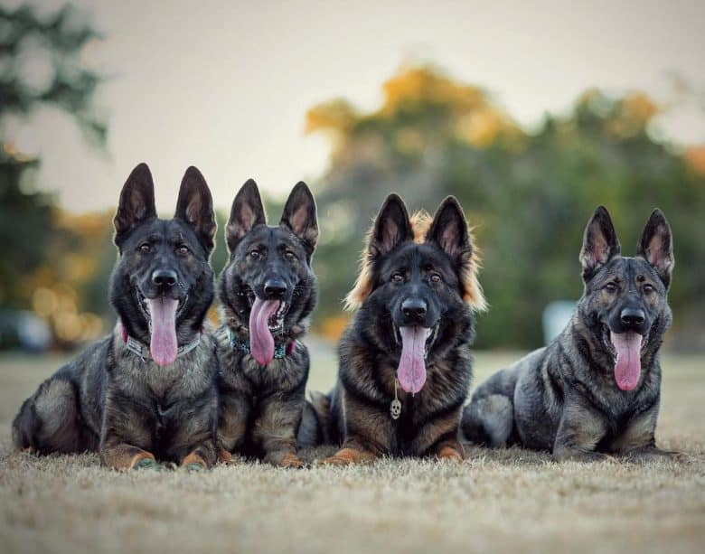 Four Sable GSDs smiling while laying down