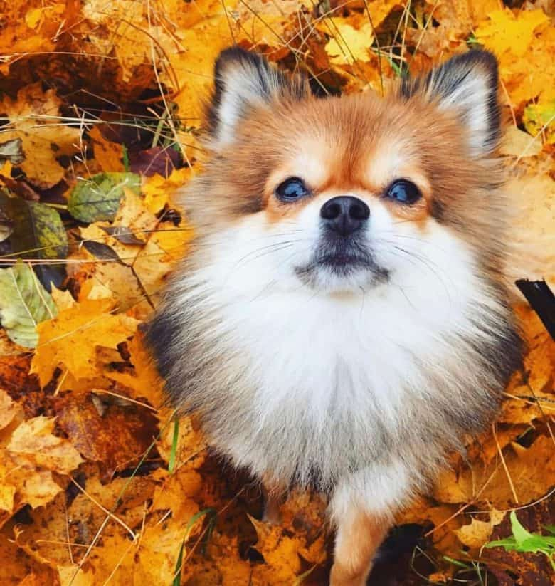 A Pom-Fox looking up sitting on the fall leaves
