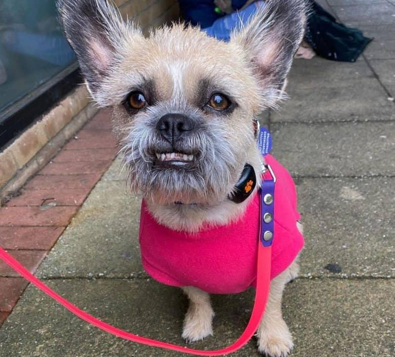 French Bulldog and Shih Tzu mix dog wearing pink outfit