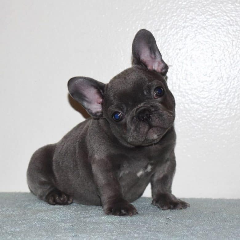 A French Bulldog puppy looking so cute posing for a photo
