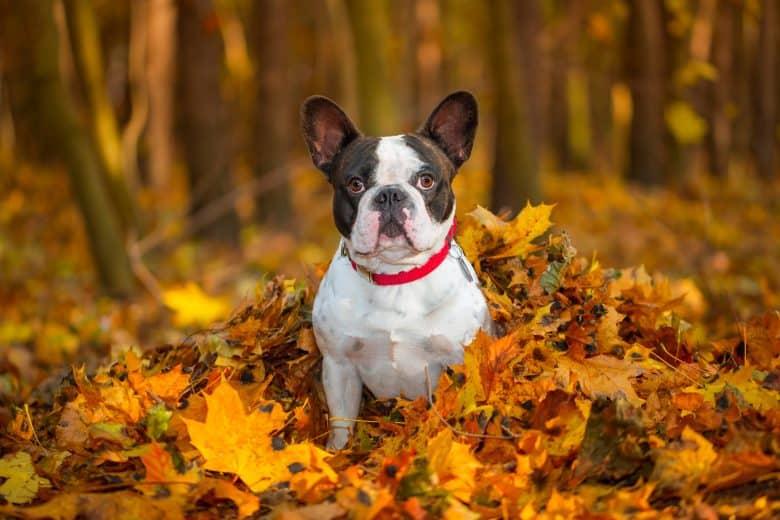a portrait of a French Bulldog enjoying the fall leaves