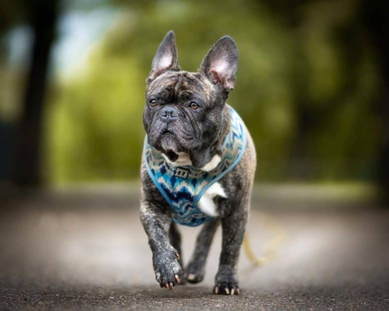 a portrait of a French Bulldog strutting proudly on pavement
