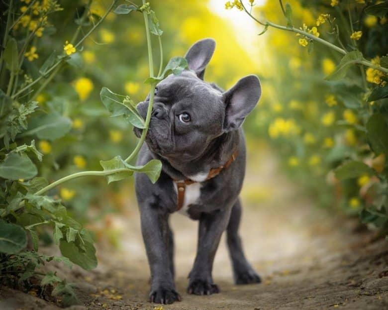 a French Bulldog walking and eating a leaf