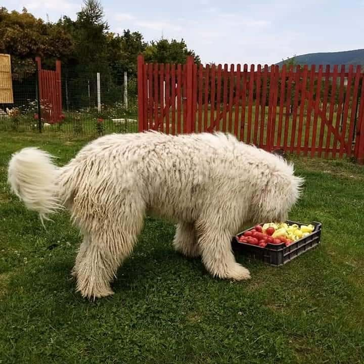 A fruit-loving Hungarian Sheepdog