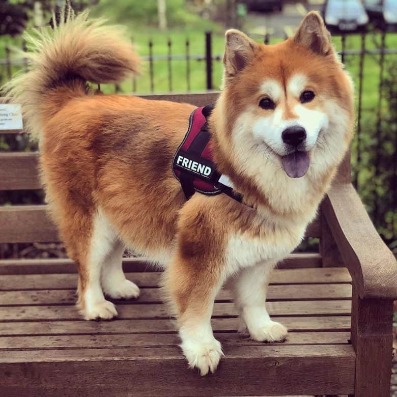 A side profile of a red Chow Husky mix standing on a bench