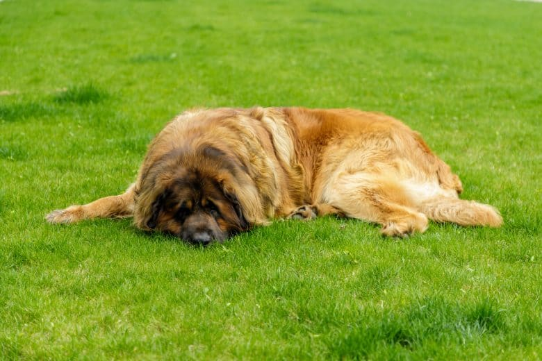 A Gentle Giant laying comfortably on the grass