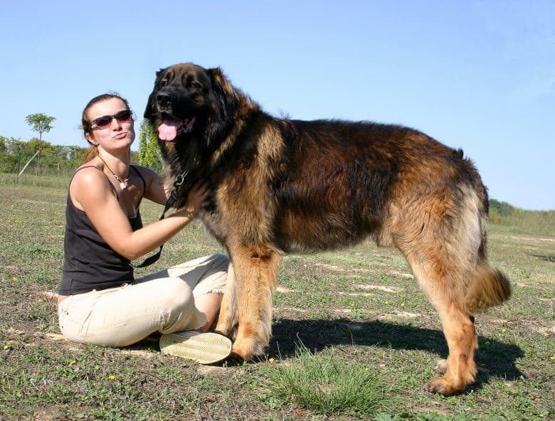 A purebred Gentle Lion Leonberger smiling and posing with a lady