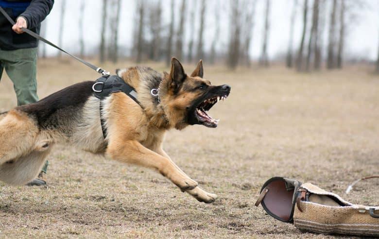 German Shepherd baring his teeth in a training