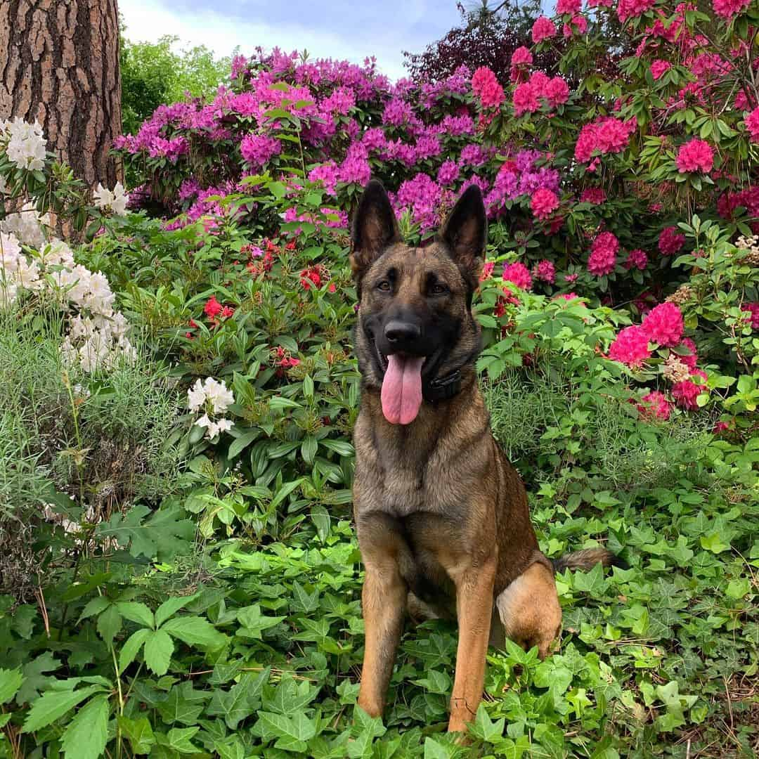 The Belgian Malinois German Shepherd mix in a garden full of flowers