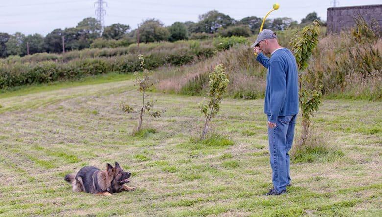 German Shepherd dog doing crouch training