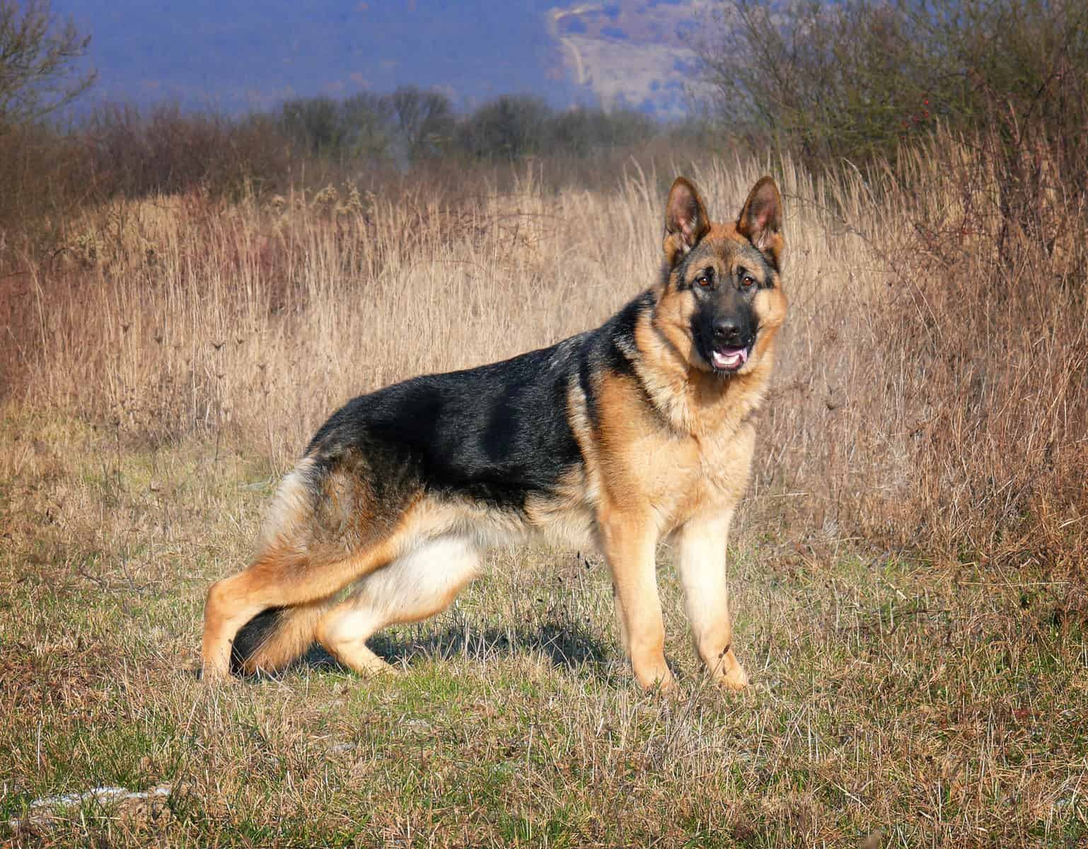 The German Shepherd on a walk