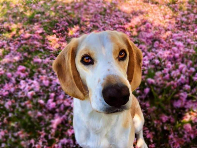 German Short-haired Pointer and Beagle mix dog portrait