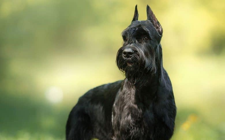 Giant Schnauzer dog looking afar