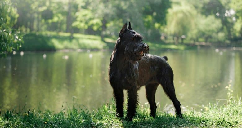 Giant Schnauzer standing near the river bank