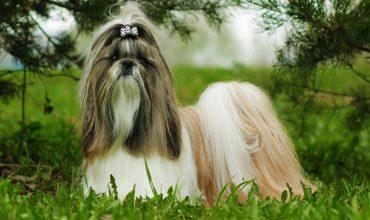 Glamorous Shih Tzu dog portrait in the nature